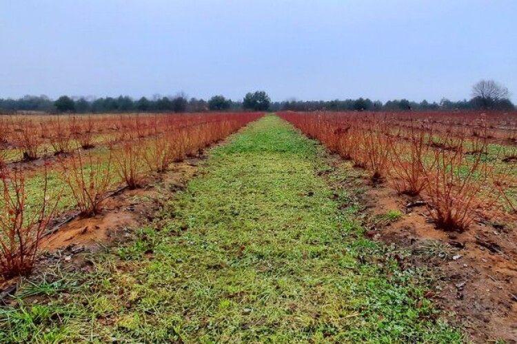В учасника АТО на Волині обікрали плантацію лохини