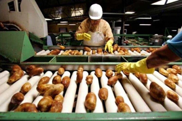 На Волині збудують завод із переробки картоплі