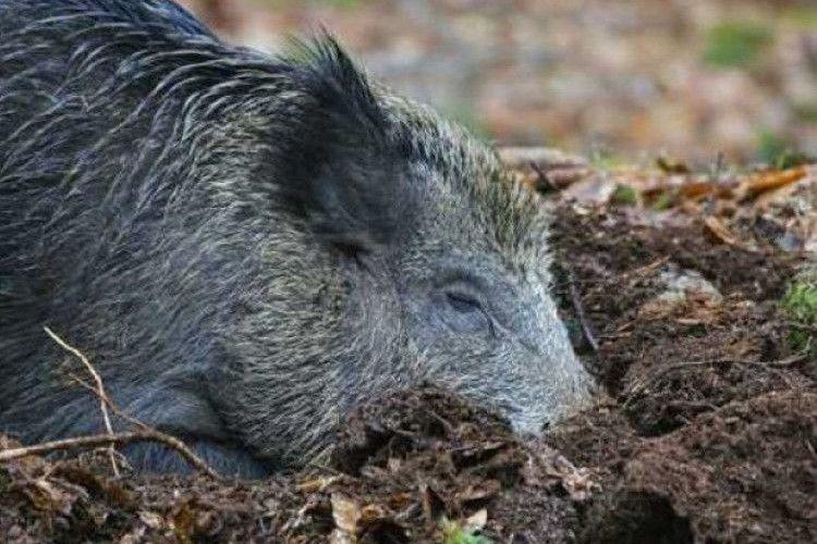 На Ківерцівщині знайшли загиблого кабана, зараженого африканською чумою
