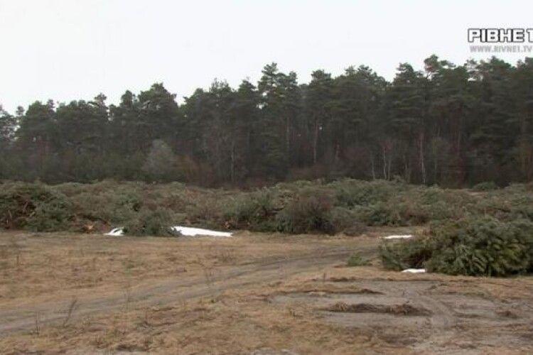 У селі на Рівненщині вирубали 800 гектарів лісу, щоб вирощувати на цій землі коноплю (Відео)