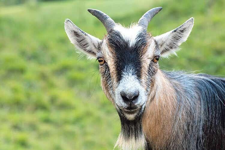 Поради господарям: тримайте козу вчистоті