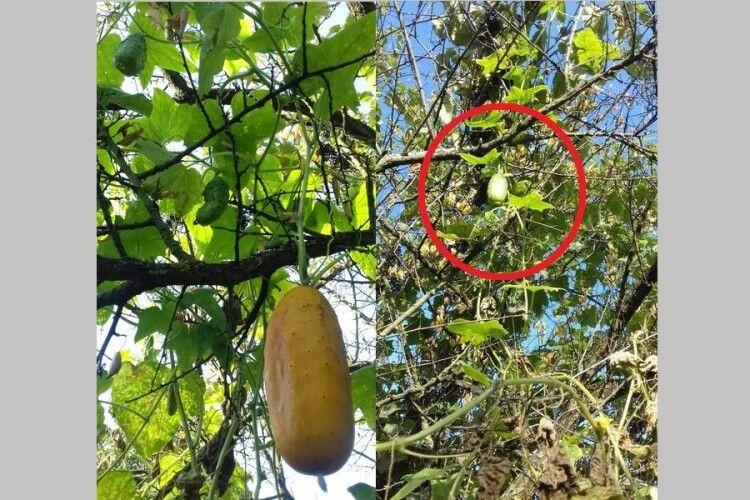 Лучанин вирощує огірки на дереві