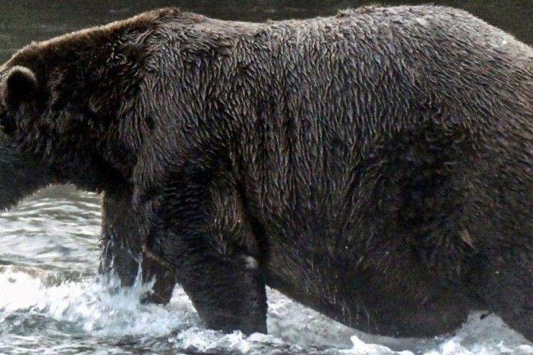 На Алясці визначили найпузатішого ведмедя-товстуна (Фото)
