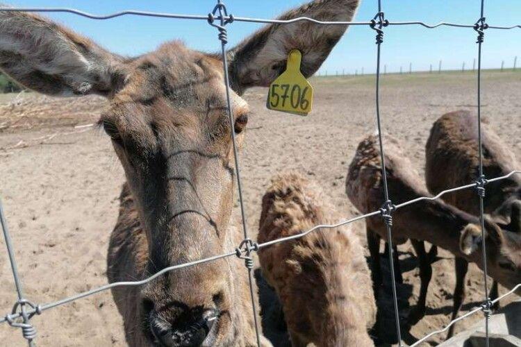 На волинську ферму з Балтійських країн привезли 200 оленів (Фото)