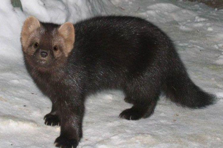 Норвегія припинить вирощувати тварин на шуби