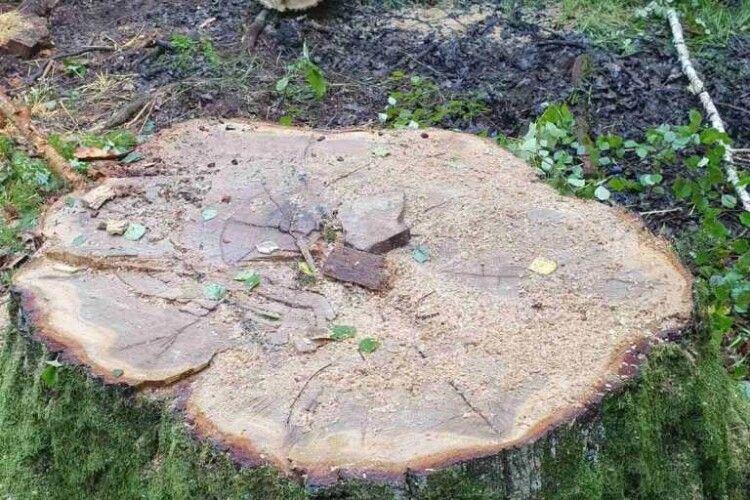 Поблизу Цумані лісокради зрубали дуба і чинили опір охоронцям