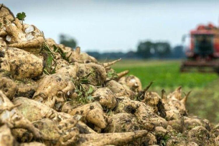 На кожного українця вже виробили по 10 кіло цукру з буряків нового врожаю