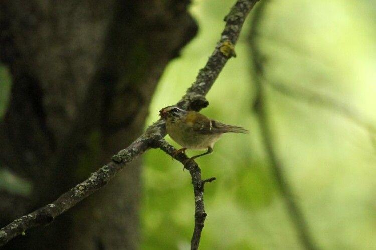 У «Цуманській пущі» з'явилися небачені досі пташки
