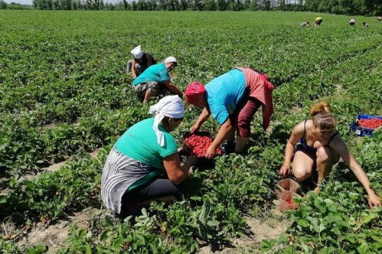 Скільки українці можуть заробити на сезонних роботах у Польщі, Німеччині, Данії, Швеції