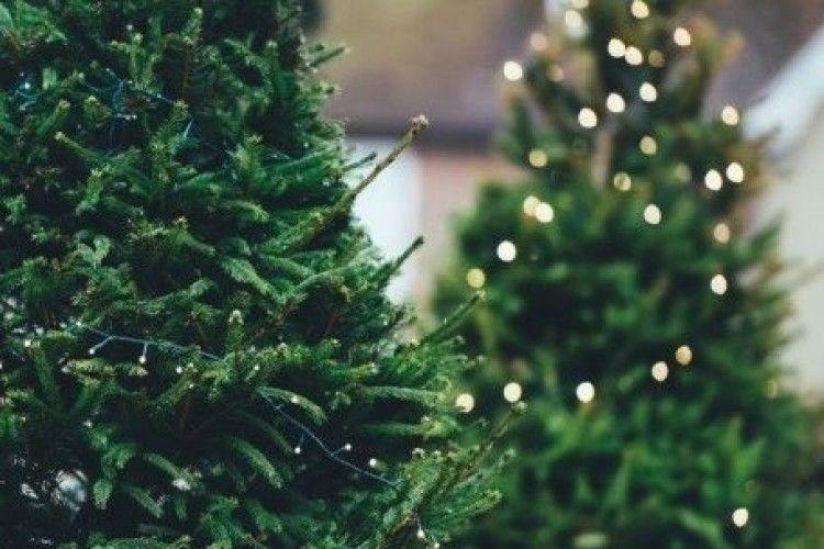 Волинь лідирує за продажем новорічних ялинок