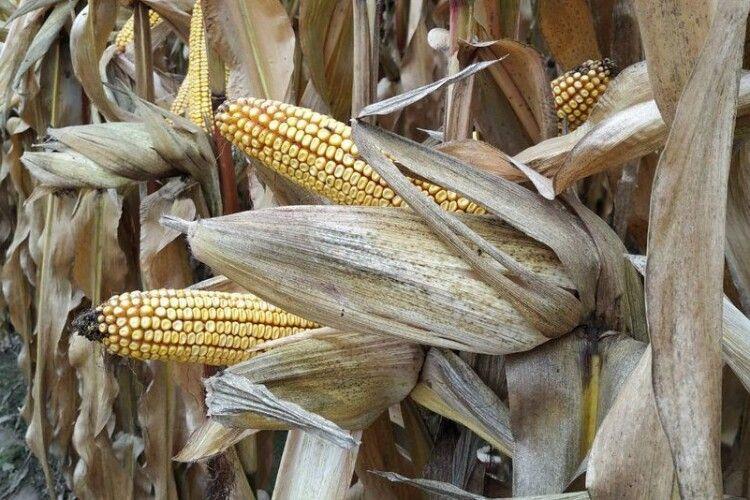 На Волині щедро вродила кукурудза. Ціни мотивують аграріїв вирощувати культуру