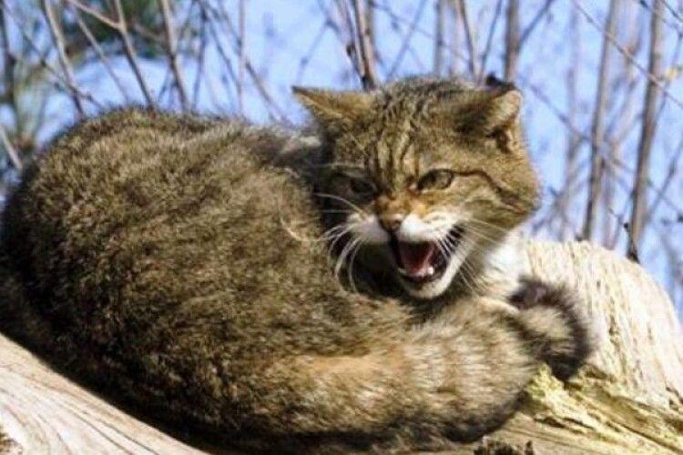 На Волині скажений кіт покусав дітей