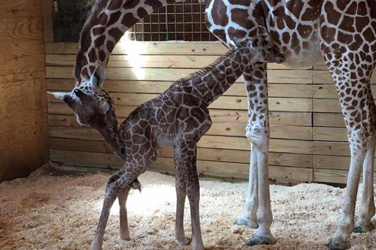 700 тисяч людей дивилися онлайн-трансляцію процесу народження жирафеняти
