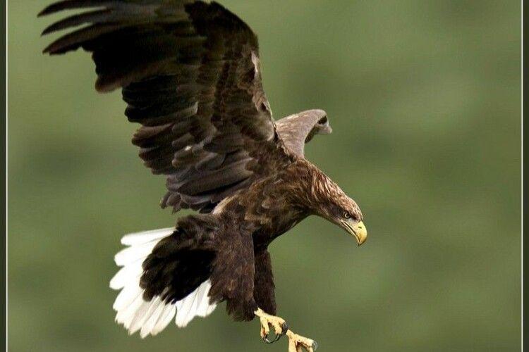 Волинянам розповіли, як живеться орланам-білохвостам Цуманської пущі (Фото)
