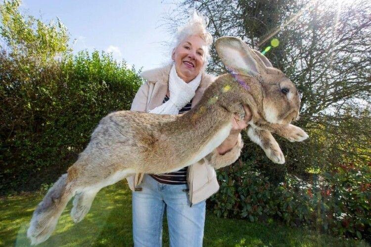 У плейбоїхи поцупили її кролика-гіганта