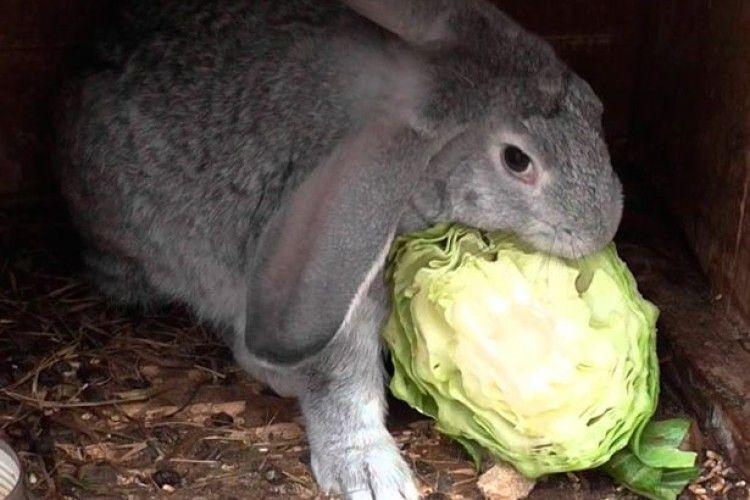 Як годувати кролів узимку?