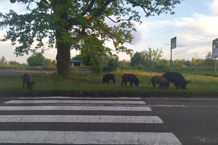 Біля волинського села знову зазнімкували табун диких кабанів, які виходять з лісу попастися (Фото, Відео)