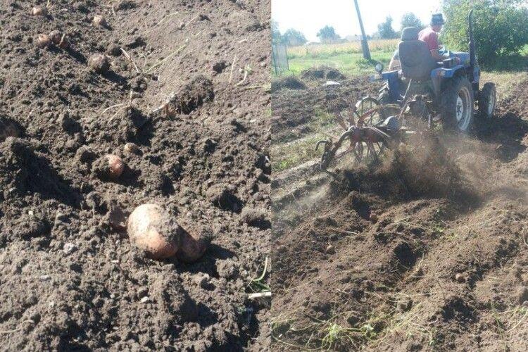 50% волинян уже викопали картоплю. Чи задоволені врожаєм і почім продають (фото)