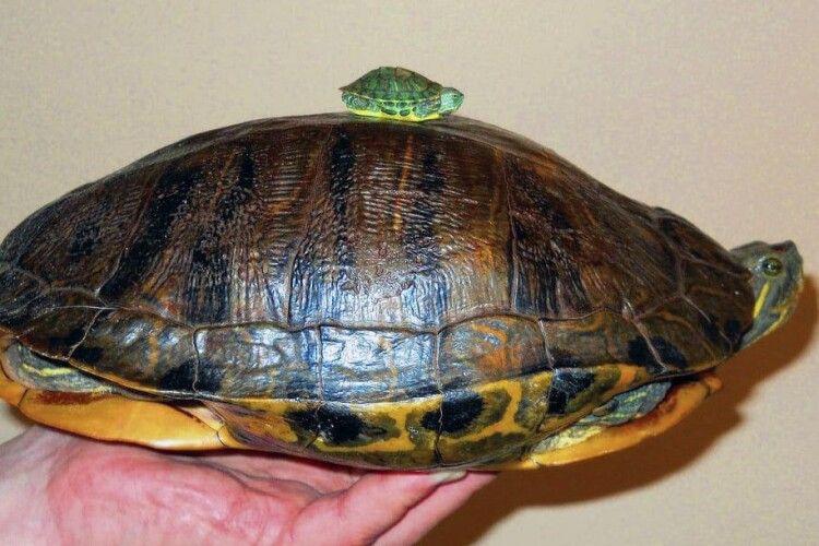 Волиняни просять Святого Миколая не приносити дітям червоних черепах