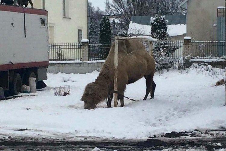 Грузинський цирк забув верблюда в Україні