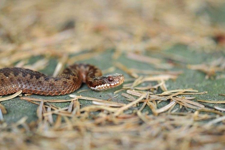 7-річна дівчинка потрапила до реанімації через укус змії