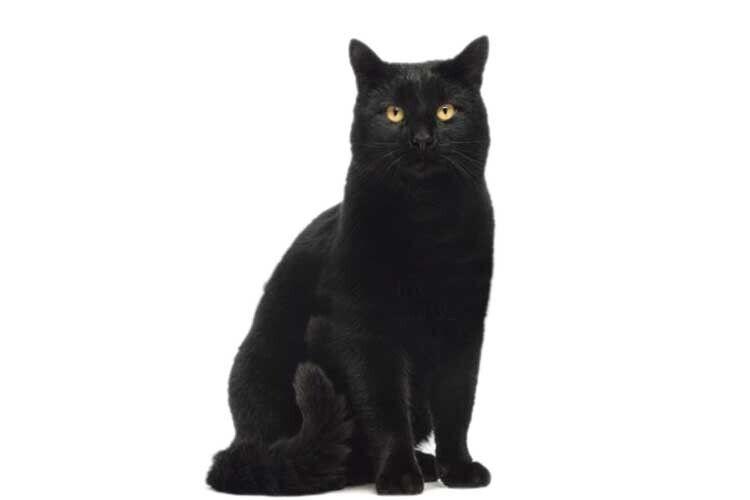 Ачорної кішки боятися неварто…