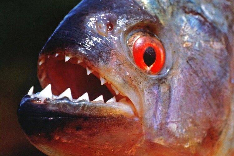 У Рівному з'явилася зграя риб-бульдогів, які за дві хвилини лишають від живої людини самі лиш кісточки