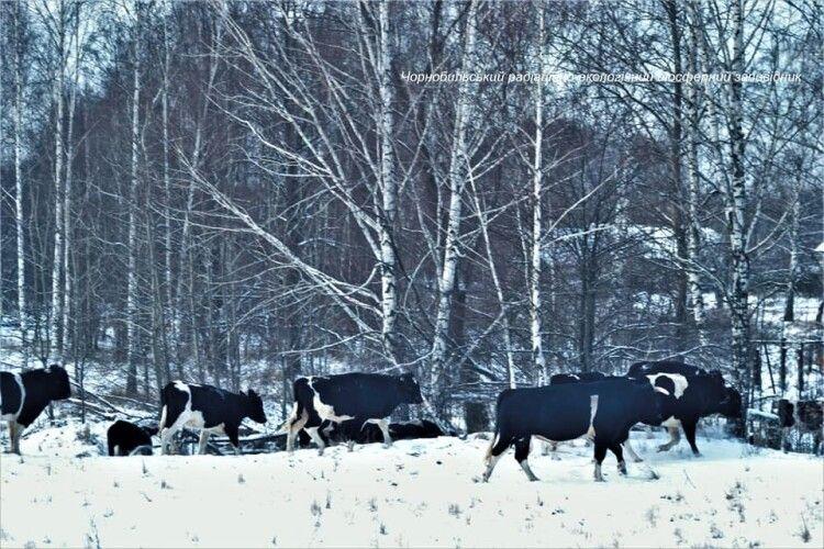 У мережі показали стадо диких корів у Чорнобильському заповіднику (Фото)