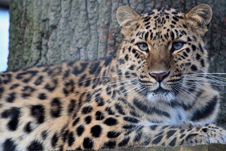 В Україну їде вкрай рідкісний амурський леопард (фото)