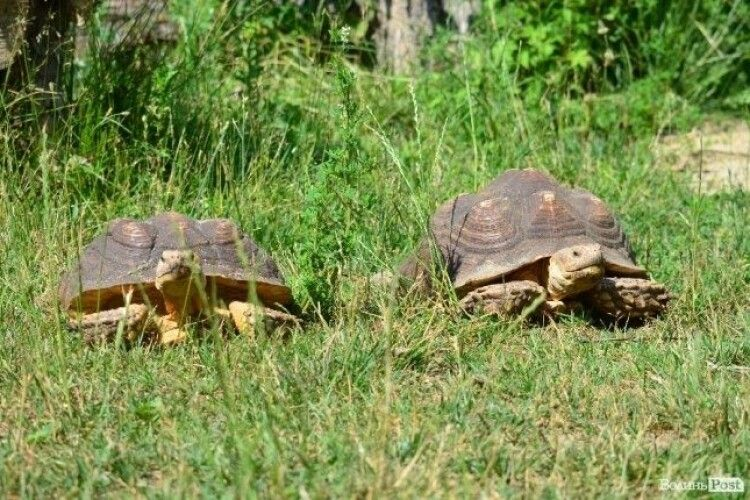 Шпороносні черепахи Матильда та дядько Сашко живуть, неначе у Бога за пазухою (Відео)
