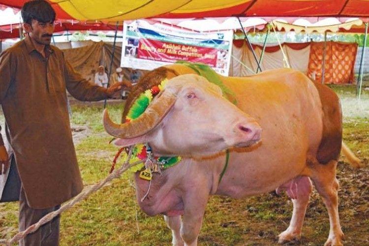 «Яка ж ви гарна, буйволице!» – у Пакистані пройшов ну дуже незвичний конкурс краси (фото)