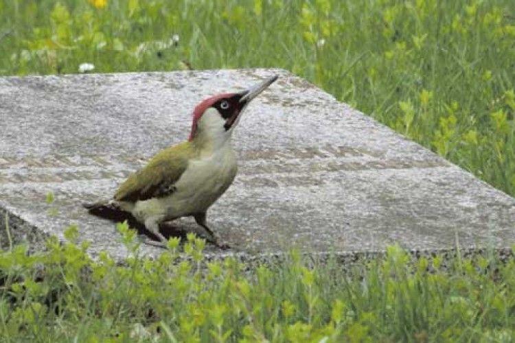 У Луцьку зафіксували червонокнижну пташку