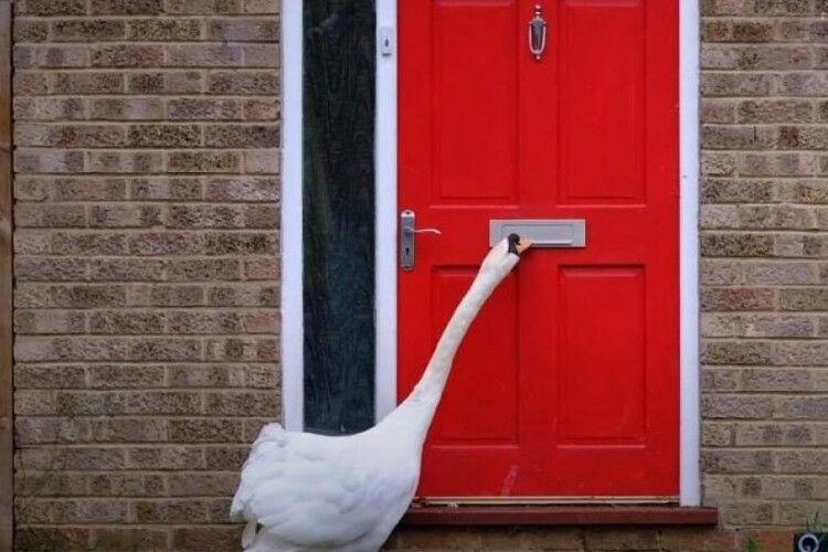 Жителі британського містечка скаржаться на лебедя-розбишаку (Відео)