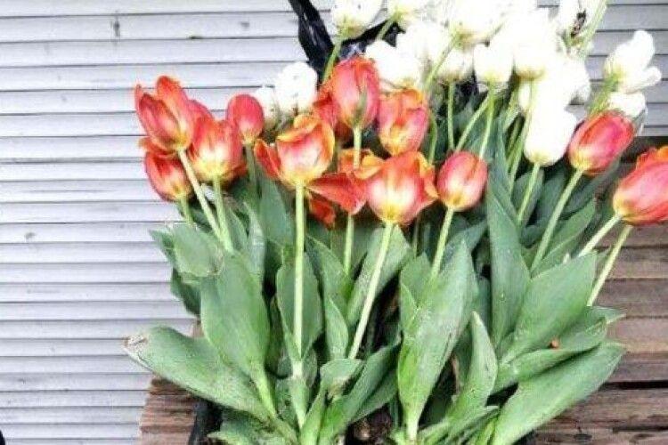 Злодія, який поцупив на клумбах Рівного понад 200 тюльпанів, триматимуть під домашнім арештом
