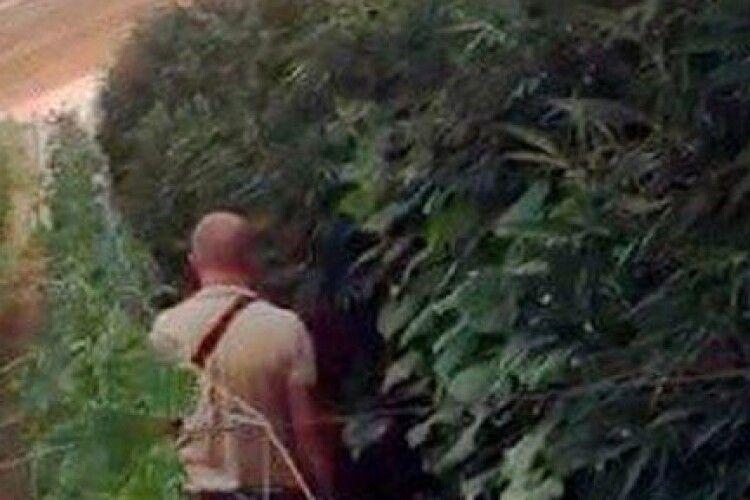 Вирощував коноплю серед огірків: затримали наркоділка