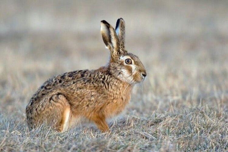Волинянин заплатив 8 тисяч штрафу за незаконно застреленого зайця