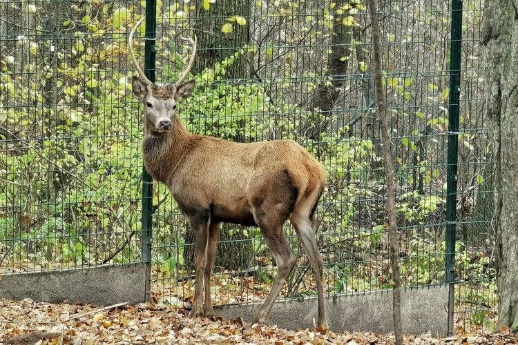 Шляхетним оленям з Рівненського зоопарку подарували дві тонни сіна (Фото)