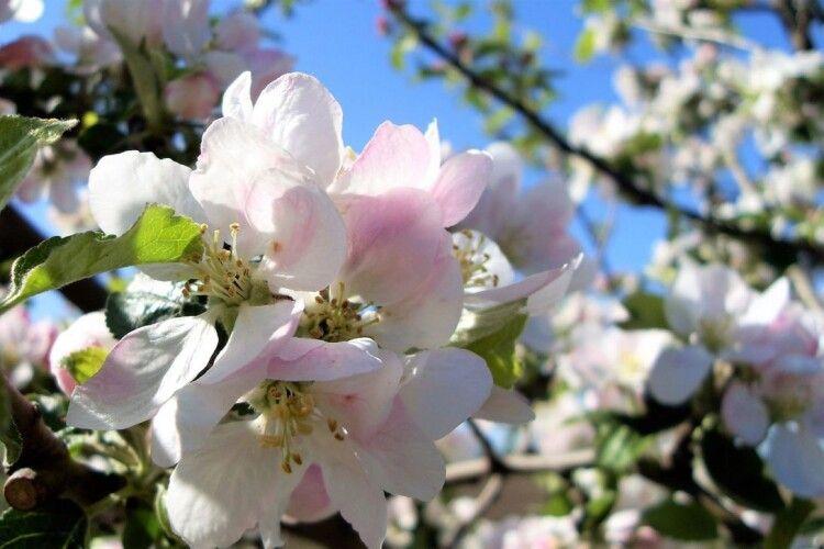 Посеред грудня на Миколаївщині зацвіли яблуні