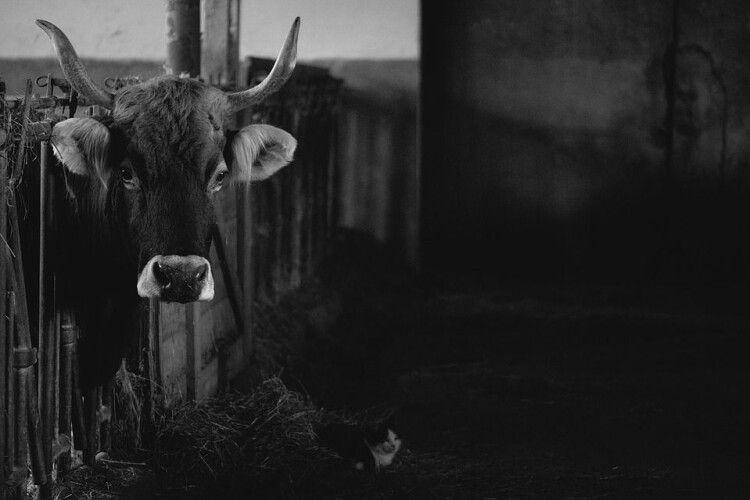 «Мукають на все село»: господар знущається над коровами (Відео)
