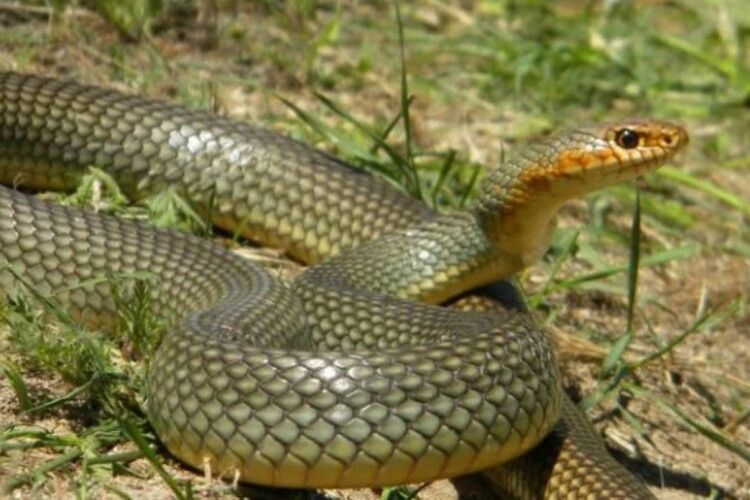 Волинянин, якого вкусила змія, забрав їїсобі у… кишеню