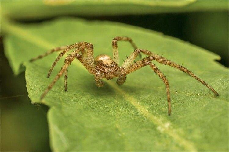 Павуки навчилися зв'язувати павучих павутиною, аби ті не схрумали їх під час спарювання