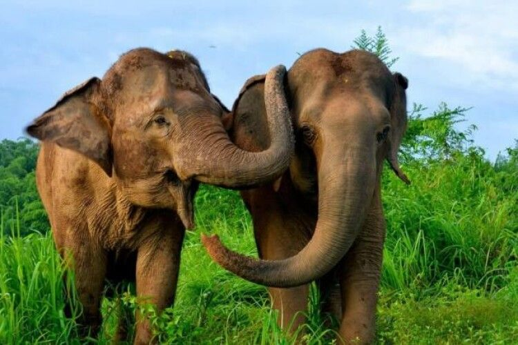 Відпустили додому: через пандемію 100 слонів отримали свободу у Таїланді