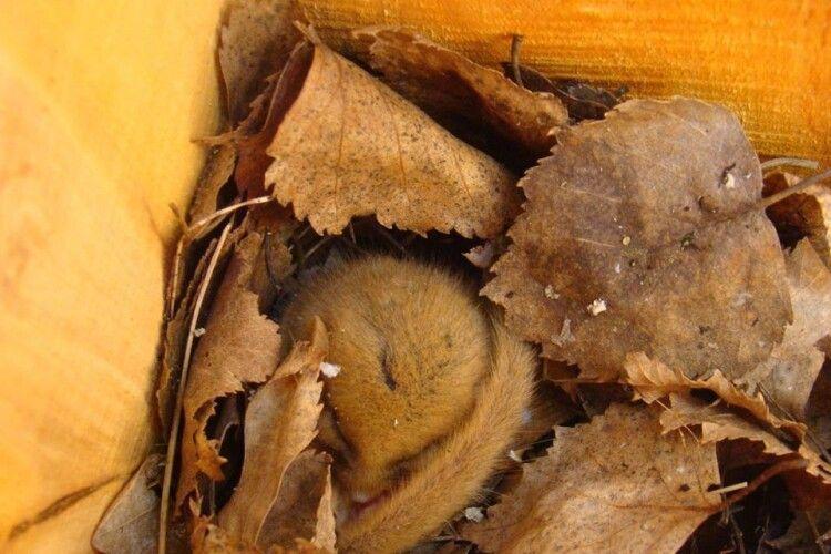 На Волині у гоголятниках та синичниках оселилися горішкові соні, білки і куниці (Фото)