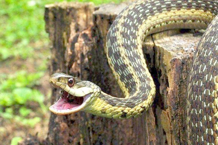 Плазуни активізувалися: на Рівненщині на дівчинку в лісі напала змія