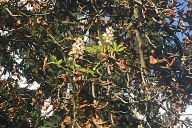 Диво природи: осінню зацвіли каштани