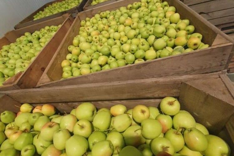 Новий урожай у нове сховище: на Волині стартував збір яблук