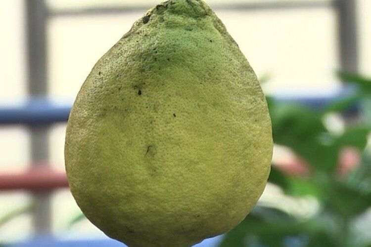 В лісгоспі на Волині виростили півкілограмові гібридні лимони