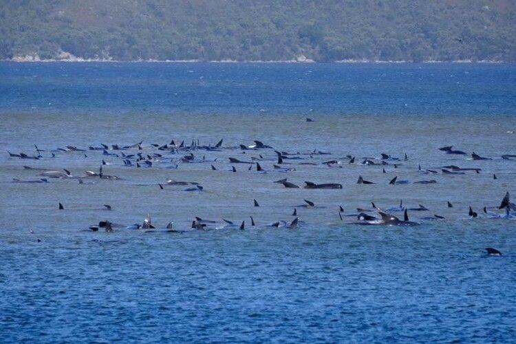 Біля берегів Тасманії на мілководді застрягли сотні китів