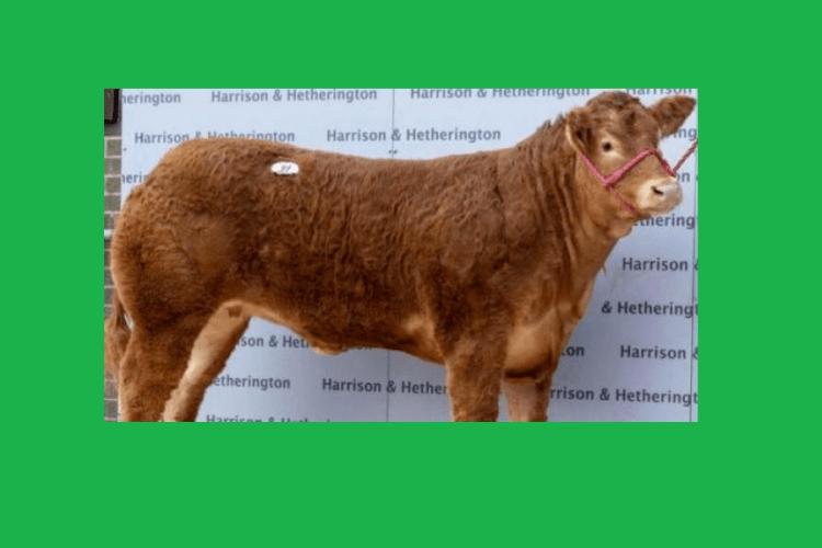 Породисту корову названу на честь однієї з учасниць групи Spice Girls продали за 360 тисяч доларів
