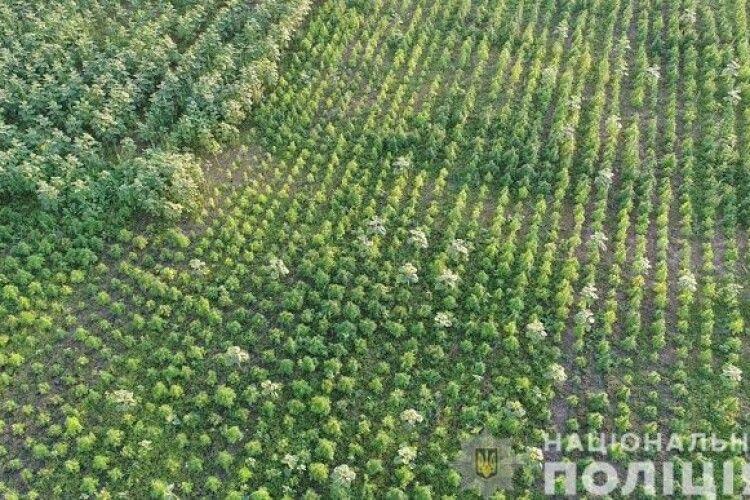 Виявили поле конопель на понад 300 мільйонів гривень